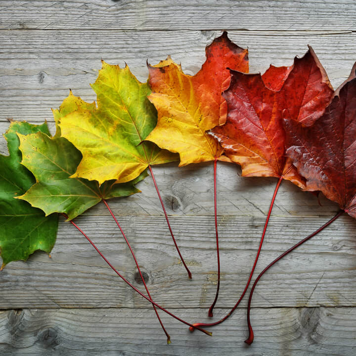 Shades of Maples Leaves throughout seasons